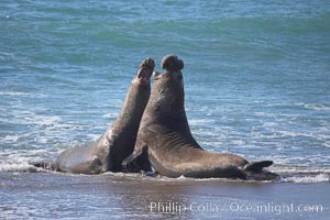 Male elephant seals (bulls) rear up on their foreflippers and fight for territory and harems of females.  Bull elephant seals will haul out and fight from December through March, nearly fasting the entire time as they maintain their territory and harem.  They bite and tear at each other on the neck and shoulders, drawing blood and creating scars on the tough hides.  Sandy beach rookery, winter, Central California, Mirounga angustirostris, Piedras Blancas, San Simeon