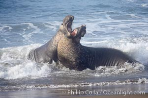 Male elephant seals (bulls) rear up on their foreflippers and fight in the surf for access for mating females that are in estrous.  Such fighting among elephant seals can take place on the beach or in the water.  They bite and tear at each other on the neck and shoulders, drawing blood and creating scars on the tough hides, Mirounga angustirostris, Piedras Blancas, San Simeon, California