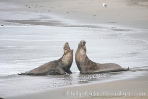 Male elephant seals (bulls) rear up on their foreflippers and fight for territory and harems of females.  Bull elephant seals will haul out and fight from December through March, nearly fasting the entire time as they maintain their territory and harem.  They bite and tear at each other on the neck and shoulders, drawing blood and creating scars on the tough hides, Mirounga angustirostris, Piedras Blancas, San Simeon, California