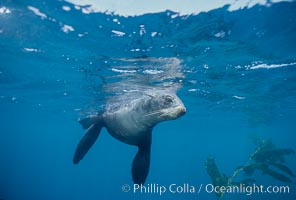 Northern fur seal swims through the cold waters and kelp forest of San Miguel Island, in California's northern Channel Islands, Callorhinus ursinus