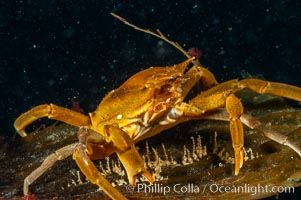 Northern kelp crab crawls amidst kelp blades and stipes, midway in the water column (below the surface, above the ocean bottom) in a giant kelp forest., Pugettia producta, Macrocystis pyrifera,  Copyright Phillip Colla, image #10215, all rights reserved worldwide.