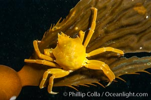 Northern kelp crab crawls amidst kelp blades and stipes, midway in the water column (below the surface, above the ocean bottom) in a giant kelp forest. San Nicholas Island, California, USA, Pugettia producta, Macrocystis pyrifera, natural history stock photograph, photo id 10218