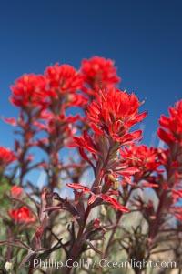Indian Paintbrush, Castilleja angustifolia, Joshua Tree National Park, California