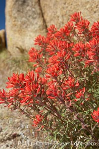 Indian Paintbrush, Castilleja angustifolia, Joshua Tree National Park, California