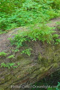 Nurse log.  A fallen Douglas fir tree provides a substrate for new seedlings to prosper and grow, Cathedral Grove, MacMillan Provincial Park, Vancouver Island, British Columbia, Canada