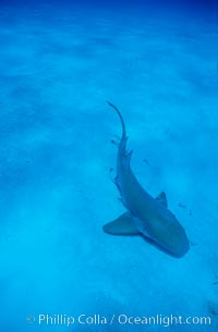 Nurse shark. Bahamas, Ginglymostoma cirratum, natural history stock photograph, photo id 05009