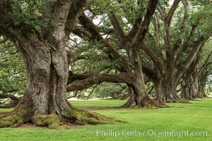 Oak Alley Plantation and its famous shaded tunnel of  300-year-old southern live oak trees (Quercus virginiana).  The plantation is now designated as a National Historic Landmark. Oak Alley Plantation, Vacherie, Louisiana, USA, Quercus virginiana, natural history stock photograph, photo id 31000