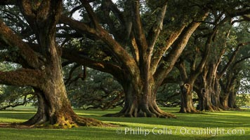 Oak Alley Plantation and its famous shaded tunnel of  300-year-old southern live oak trees (Quercus virginiana).  The plantation is now designated as a National Historic Landmark. Oak Alley Plantation, Vacherie, Louisiana, USA, Quercus virginiana, natural history stock photograph, photo id 31020