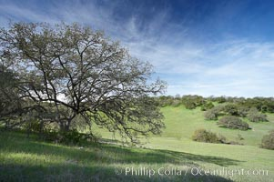 Oak tree and pastoral rolling grass-covered hills. Santa Rosa Plateau Ecological Reserve, Murrieta, California, USA, natural history stock photograph, photo id 20530