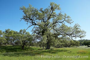 Oak tree, Sierra Nevada foothills, Quercus, Mariposa, California