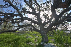 Oak tree backlit by the morning sun, surrounded by boulders and springtime grasses. Santa Rosa Plateau Ecological Reserve, Murrieta, California, USA, natural history stock photograph, photo id 20535