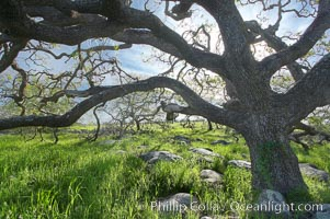 Oak tree backlit by the morning sun, surrounded by boulders and springtime grasses, Santa Rosa Plateau Ecological Reserve, Murrieta, California