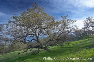 Oak tree and pastoral rolling grass-covered hills, Santa Rosa Plateau Ecological Reserve, Murrieta, California