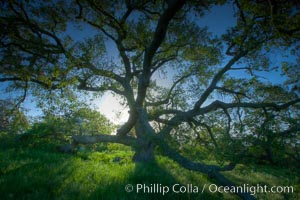 Oak tree at sunrise, Santa Rosa Plateau. Santa Rosa Plateau Ecological Reserve, Murrieta, California, USA, natural history stock photograph, photo id 24382