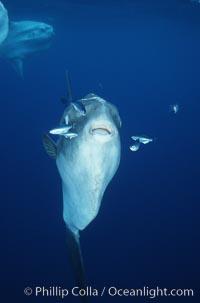Ocean sunfish, soliciting cleaner fishes, open ocean, Baja California, Mola mola