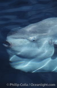 Ocean sunfish viewed from above water, Mola mola, San Diego, California