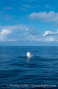 Ocean sunfish breaching. San Diego, California, USA, Mola mola, natural history stock photograph, photo id 06452