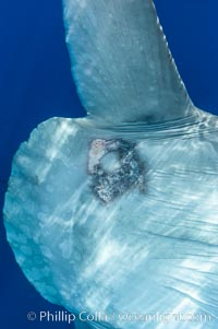 Diseased skin near the dorsal fin of an ocean sunfish, likely caused by parasites, open ocean, Mola mola, San Diego, California