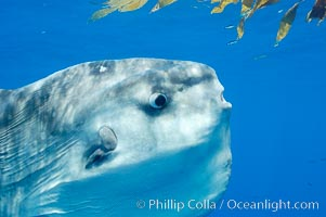 Eye (right), round gill operculum and tiny pectoral fin (left) of an ocean sunfish, open ocean, Mola mola, San Diego, California