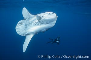 Ocean sunfish and photographer, open ocean. San Diego, California, USA, Mola mola, natural history stock photograph, photo id 16201