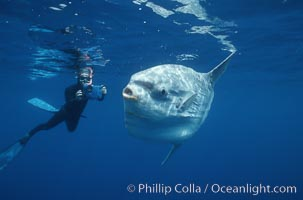 Ocean sunfish and videographer, open ocean. San Diego, California, USA, Mola mola, natural history stock photograph, photo id 02057