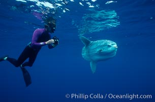 Ocean sunfish and videographer, open ocean, Mola mola, San Diego, California