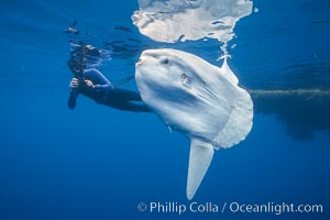 Ocean sunfish with videographer, open ocean. San Diego, California, USA, Mola mola, natural history stock photograph, photo id 02877