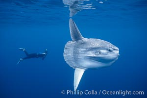 Ocean sunfish with videographer, open ocean. San Diego, California, USA, Mola mola, natural history stock photograph, photo id 02878