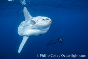Image 03491, Ocean sunfish and freediving photographer, open ocean. San Diego, California, USA, Mola mola, Phillip Colla, all rights reserved worldwide. Keywords: actinopterygii, animal, animalia, california, california baja california, chordata, creature, fish, freediver snorkler, indo-pacific, man and animal, manbow, marine, marine fish, mola, mola mola, molidae, mondfisch, moonfish, nature, ocean, ocean sunfish, ocean sunfish - mola mola, odd, outdoors, outside, pacific, pacific ocean, pelagic, people, pesce luna, pez luna, san diego, sea, strange, submarine, sunfish, teleost fish, tetraodontiformes, underwater, usa, vertebrata, wild, wildlife.