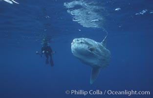 Ocean sunfish and freediving photographer, open ocean, Baja California, Mola mola