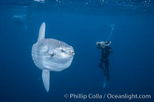 Ocean sunfish and freediving videographer open ocean, Baja California., Mola mola, natural history stock photograph, photo id 06407