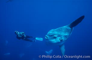 Ocean sunfish and freediving videographer open ocean, Baja California., Mola mola, natural history stock photograph, photo id 06409