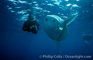 Ocean sunfish and freediving photographer Ken Howard, open ocean, Baja California, Mola mola