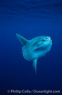 Ocean sunfish, open ocean. San Diego, California, USA, Mola mola, natural history stock photograph, photo id 02884