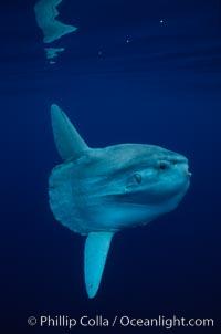 Ocean sunfish, open ocean. San Diego, California, USA, Mola mola, natural history stock photograph, photo id 02888