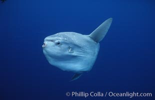 Ocean sunfish, open ocean. San Diego, California, USA, Mola mola, natural history stock photograph, photo id 02891