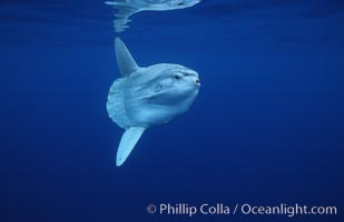 Ocean sunfish, open ocean. San Diego, California, USA, Mola mola, natural history stock photograph, photo id 02893