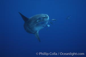 Ocean sunfish, halfmoon perch removing its parasites, open ocean, Mola mola, Medialuna californiensis, San Diego, California