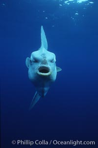 Image 03317, Ocean sunfish, open ocean. San Diego, California, USA, Mola mola, Phillip Colla, all rights reserved worldwide. Keywords: actinopterygii, animal, animalia, california, california baja california, chordata, creature, fish, fish anatomy, indo-pacific, manbow, marine, marine fish, mola, mola mola, molidae, mondfisch, moonfish, mouth, nature, ocean, ocean sunfish, ocean sunfish - mola mola, odd, outdoors, outside, pacific, pacific ocean, pelagic, pesce luna, pez luna, san diego, sea, strange, submarine, sunfish, teleost fish, tetraodontiformes, underwater, usa, vertebrata, wild, wildlife.