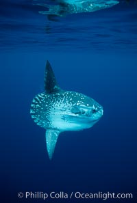Ocean sunfish, open ocean. San Diego, California, USA, Mola mola, natural history stock photograph, photo id 03495