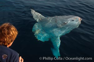 Ocean sunfish. San Diego, California, USA, Mola mola, natural history stock photograph, photo id 02028