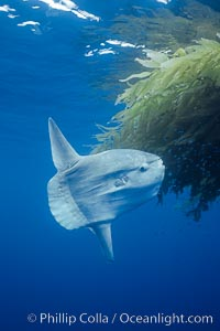 Ocean sunfish recruiting fish near drift kelp to clean parasites, open ocean, Baja California., Mola mola, natural history stock photograph, photo id 03265