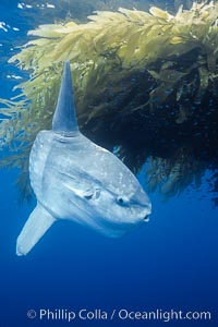 Photographs of ocean sunfish (Mola mola), topside and underwater.