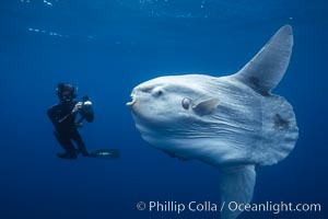 Ocean sunfish and freediving photographer, open ocean, Mola mola, San Diego, California