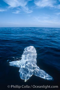Image 03498, Ocean sunfish, sunning/basking at surface, open ocean. San Diego, California, USA, Mola mola, Phillip Colla, all rights reserved worldwide. Keywords: actinopterygii, animal, animalia, california, california baja california, chordata, creature, fish, indo-pacific, manbow, marine, marine fish, mola, mola mola, molidae, mondfisch, moonfish, nature, ocean, ocean sunfish, ocean sunfish - mola mola, odd, outdoors, outside, pacific, pacific ocean, pelagic, pesce luna, pez luna, san diego, sea, strange, sunfish, teleost fish, tetraodontiformes, underwater, usa, vertebrata, wild, wildlife.
