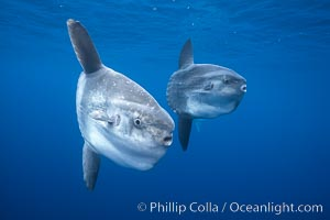 Ocean sunfish schooling, open ocean near San Diego, Mola mola