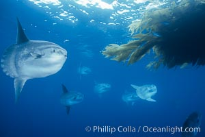 Ocean sunfish schooling, referencing drift kelp, open ocean near San Diego, Mola mola