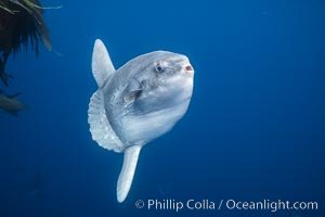 Ocean sunfish, open ocean near San Diego, Mola mola
