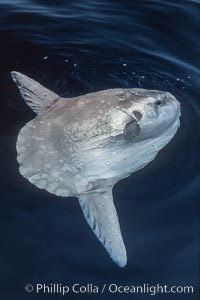 Image 06268, Ocean sunfish basking flat on the ocean surface, open ocean. San Diego, California, USA, Mola mola, Phillip Colla, all rights reserved worldwide. Keywords: actinopterygii, animal, animalia, california, california baja california, chordata, creature, fish, indo-pacific, manbow, marine, marine fish, mola, mola mola, molidae, mondfisch, moonfish, nature, ocean, ocean sunfish, ocean sunfish - mola mola, odd, outdoors, outside, pacific, pacific ocean, pelagic, pesce luna, pez luna, san diego, sea, strange, sunfish, teleost fish, tetraodontiformes, usa, vertebrata, wild, wildlife.