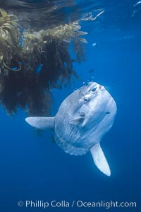Image 06378, Ocean sunfish near drift kelp, soliciting cleaner fishes, open ocean, Baja California., Mola mola, Phillip Colla, all rights reserved worldwide. Keywords: actinopterygii, animal, animalia, california baja california, chordata, cleaning, cluster, creature, fish, fish behavior, fishes, group, indo-pacific, manbow, marine, marine fish, mola, mola mola, molidae, mondfisch, moonfish, nature, ocean, ocean sunfish, ocean sunfish - mola mola, odd, outdoors, outside, pacific, pacific ocean, pelagic, pesce luna, pez luna, school, schooling, sea, strange, submarine, sunfish, teleost fish, tetraodontiformes, underwater, vertebrata, wild, wildlife.